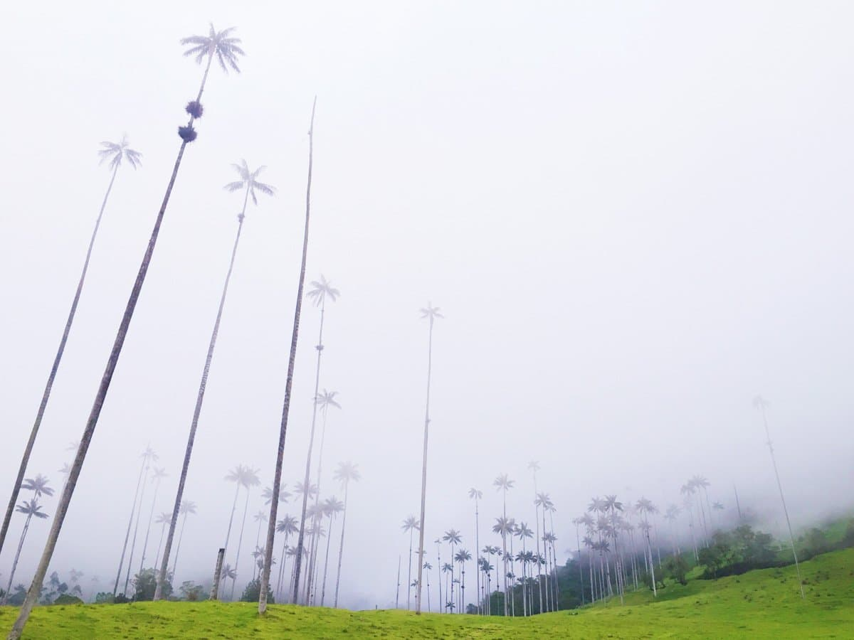 palm trees in valle de cocora